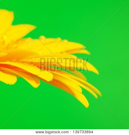 beautiful yellow gerbera flower on green background