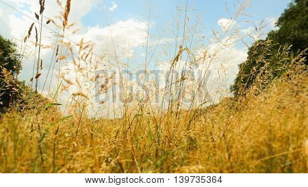 nature grass summer outdoor wheat weed sky