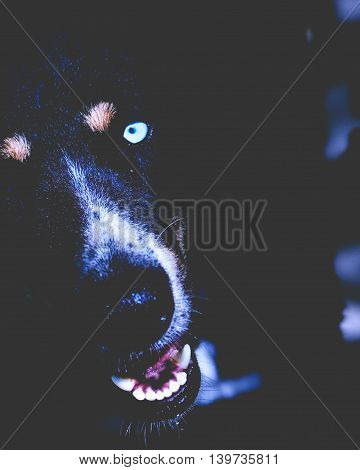 TIghtly cropped photograph of a dog with bright blue eyes.