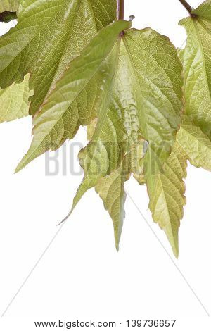 Green ivy isolated on the white background