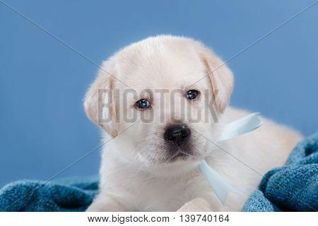 Little Puppy Labrador Retriever