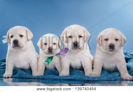 Little Puppys Labrador Retriever