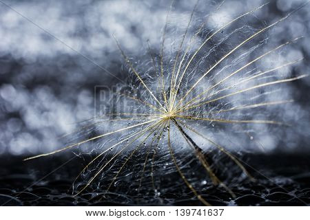 Abstract dandelion flower with water drops and bokeh background , extreme closeup. Big dandelion seed