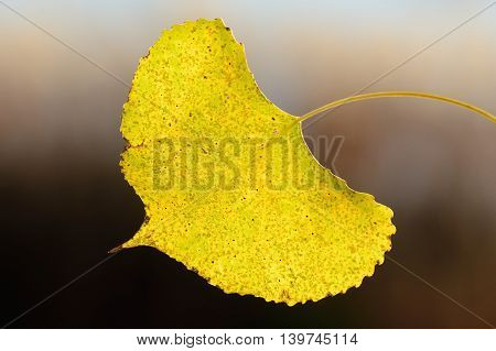 A Single Backlit Aspen Leaf on a Sunny Autumn Day