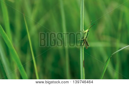small green grasshopper sits on a grass clinging paws for a blade of grass