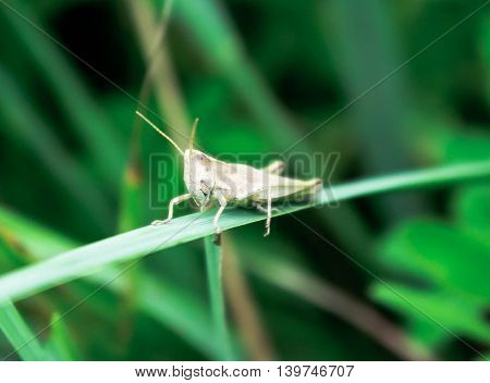 small white with brown grasshopper sits on a grass, on a large blade of grass, closeup