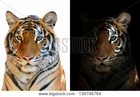 Bengal Tiger In Dark And White Background