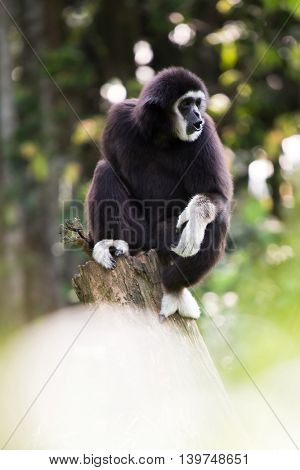 White hand Gibbon on wooden log in malaysia forest