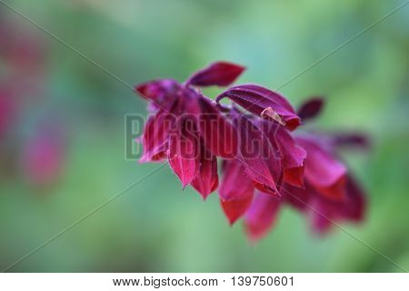 Closeup of a red sage flower on a green background