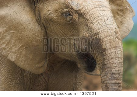 Muddy Hairy Elephant