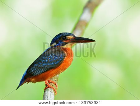 A Beautiful Female Of Blue-eared Kingfisher (alcedo Meninting) A Little Blue Bird Perching On The Br