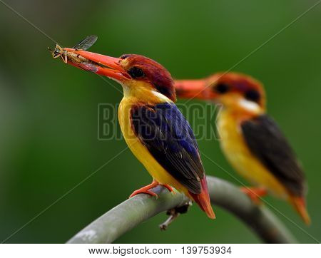 A Pair Of Black-backed Kingfisher (ceyx Erithaca) Standing On The Branch Carrying Wasp To Feed Their