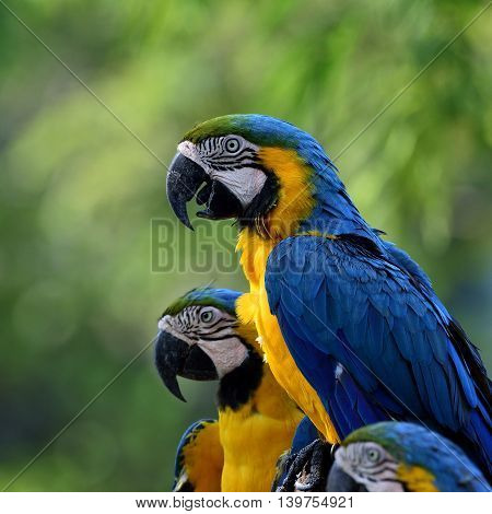 Blue-and-yellow Macaws (ara Ararauna) The Beautiful Blue Parrots Sitting Togethers With Blurgreen Ba