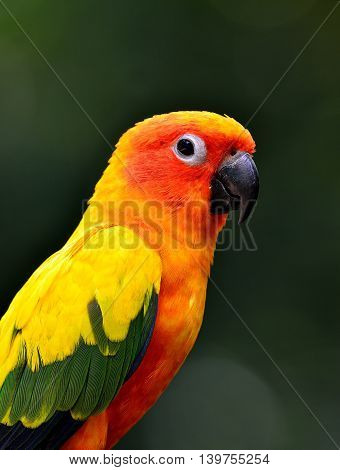 Close Up Of Sun Cornure, The Beautiful Yellow Parrot Bird With Very Great In Details