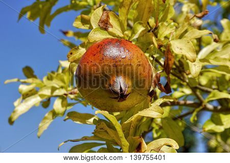 Pomegranate fruit growing on a tree. Greece