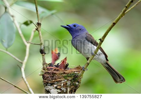Female Of Black-naped Monarch Or Black-naped Blue Flycatcher (hypothymis Azurea) The Colorful Blue B