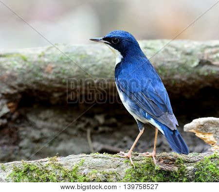 Male Of Siberian Blue Robin (luscinia Cyane) The Beautiful Blue Bird Standing On The Log Showing Its