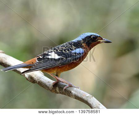 Male Of White-throated Rock Thrush (monticola Gularis) The Beautiful Blue And Orange Bird Perching O