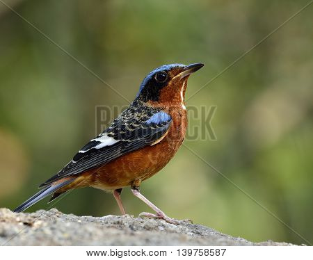 Male Of White-throated Rock Thrush (monticola Gularis) The Colorful And Blue Bird Standing On The Ro