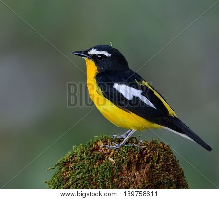 Male Of Yellow-rumped Flycatcher (ficedula Zanthopygia) The Beautiful Yellow Bird Perching On Mossy