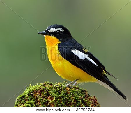 Male Of Yellow-rumped Flycatcher (ficedula Zanthopygia) The Beautiful Yellow Bird Perching On The Mo