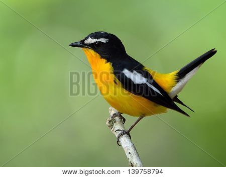 Male Of Yellow-rumped Flycatcher (ficedula Zanthopygia) The Beautiful Yellow Bird Wagging Its Tail O