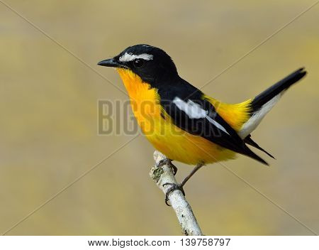 Male Of Yellow-rumped Flycatcher (ficedula Zanthopygia) The Beautiful Yellow Bird Wagging Its Tail,