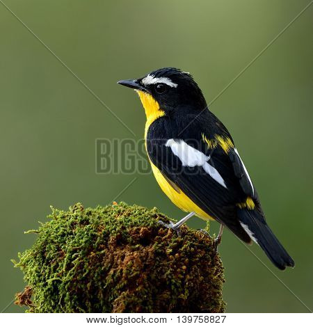 Male Of Yellow-rumped Flycatcher Or Korean Flycatcher (ficedula Zanthopygia) Beautiful Yellow Bird P