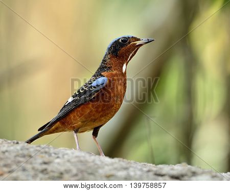 Maleof White-throated Rock Thrush (monticola Gularis) The Colorful And Blue Bird Standing On The Roc