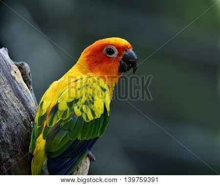 Portrait Of Sun Parakeet Or Sun Conure (aratinga Solstitialis) The Beautifulyellow Parrot Bird Perch