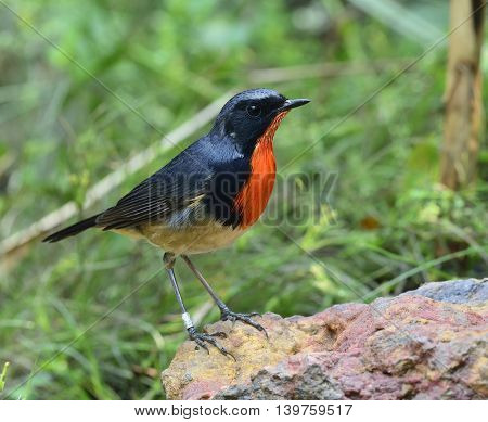 Red Neck Bird, Firethroat (luscinia Pectardens) The Beautiful Blue And Grey Bird With Fire Color On