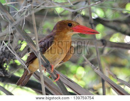 Ruddy Kingfisher (halcyon Coromanda) The Dark Brown Bird With Red Bills Perching On The Dried Bamboo