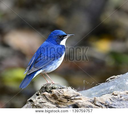Siberian Blue Robin ( Luscinia Cyane) The Beautiful Blue Bird Standing On The Wooden Log Showing Its