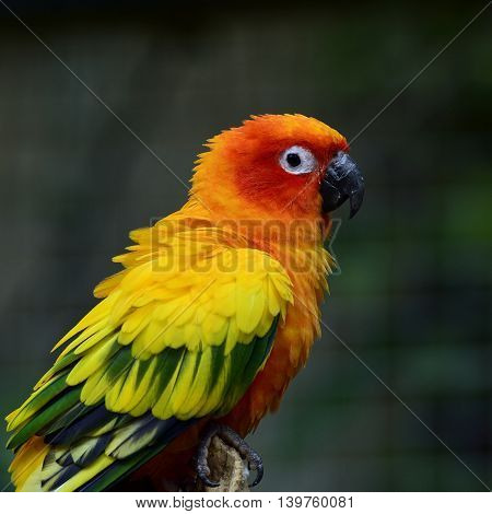 Sun Conure Or Sun Parakeet (aratinga Solstitialis) The Lovely Yellow With Green And Blue Parrot Bird