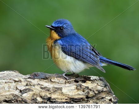 Lovely Puffy Blue Bird, Hill Blue Flycatcher (cyornis Banyumas) Standing On The Wooden With Green Bl