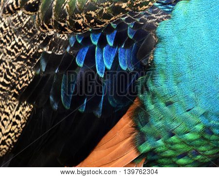 The Velvet  Multi Colors Texture Of Indian Peacock Featers, The Most Beautiful Background