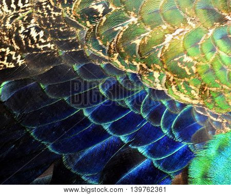 The Very Exotic And Velvet Of Blue And Green Texture Of Indian Peacock Bird's Wing Feathers, Beautif