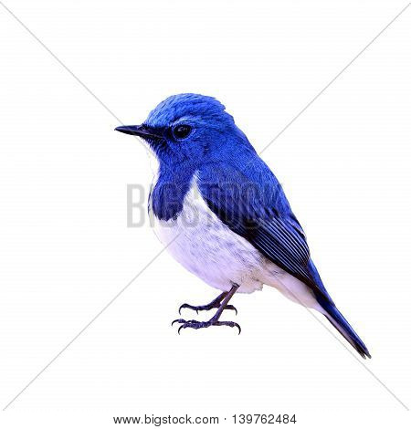 Ultramarine Flycatcher (ficedula Superciliaris) The Most Beautiful Chubby Blue Bird Isolated On Whit