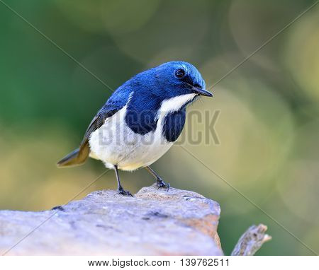 Ultramarine Flycatcher Or White-browed Blue Flycatcher (ficedula Superciliaris) Beautiful Tiny Blue