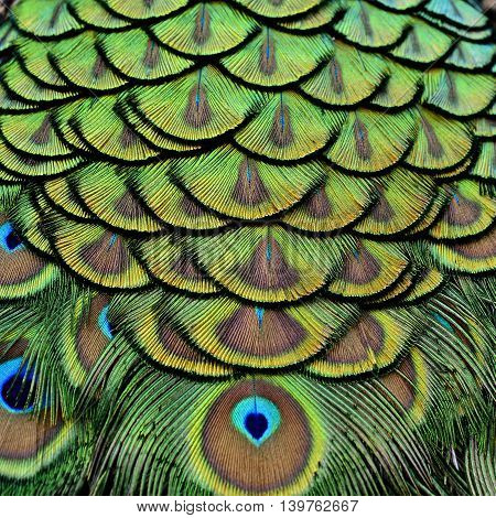 Velvet Green And Golden Pallets Background Of Indian Peacock Feathers, The Most Beautiful Texture