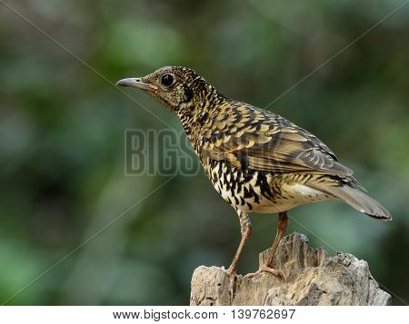 White Thrush (zoothera Aurea) Or Scaly Thrush (zoothera Dauma) The Beautiful Camouflage Ground Bird