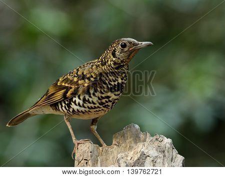 White Thrush (zoothera Aurea) Or Scaly Thrush (zoothera Dauma) The Beautiful Camouflage Ground Bird
