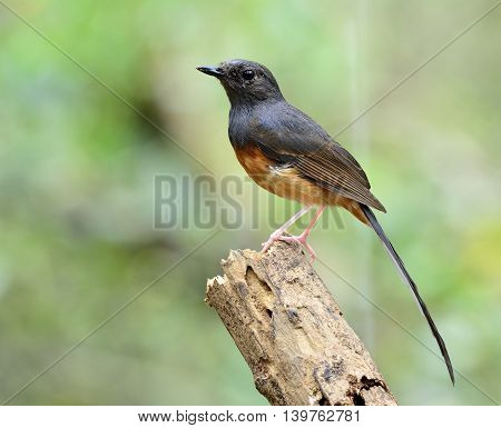 White-rumped Shama (copsychus Malabaricus) The Beautiful Orange Chest With Long White Tail And Black
