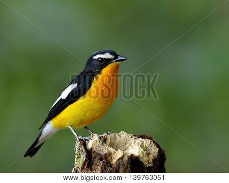 Yellow-rumped Flycatcher (ficedula Zanthopygia) The Beautiful Yellow Bird Perching On The Wooden Top
