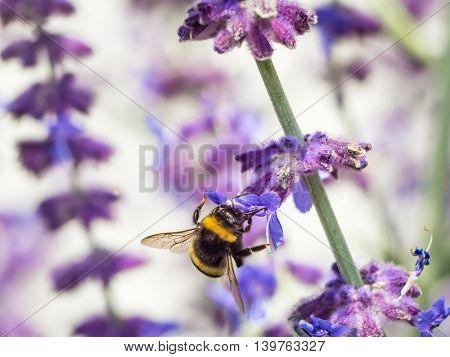 Bumblebee pollinating garden flowers