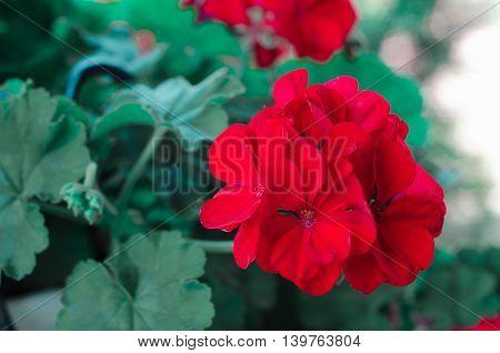 Red hybrid Phlox flowers in the garden