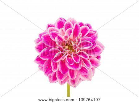 pink dahlia  decorative flowers  on white background