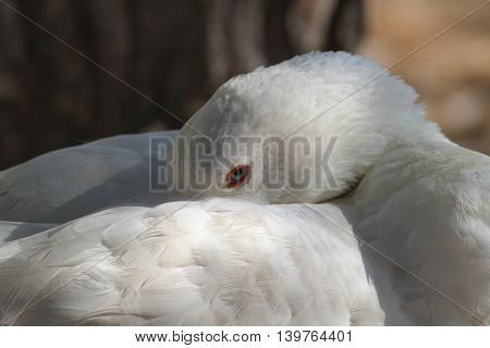 Portrait of sleeping white domestic goose with blue eye