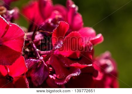 The blossoming red phloxes growing in a summer garden.