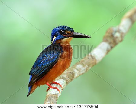 Cuty blue bird perching on the branch on fine green blur background the male of Blue-eared kingfisher (Alcedo meninting)
